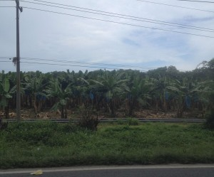 Limon-Banana Plantations